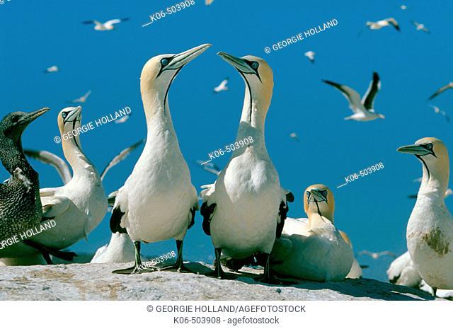 Cape gannet (Morus capensis), pair.  Malgas Island, South Africa