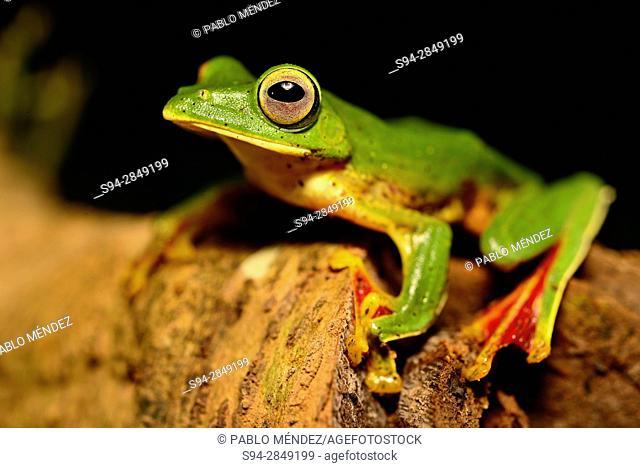 Malabar gliding frog (Rhacophorus malabaricus) in Cotigao wildlife sanctuary, Goa, India