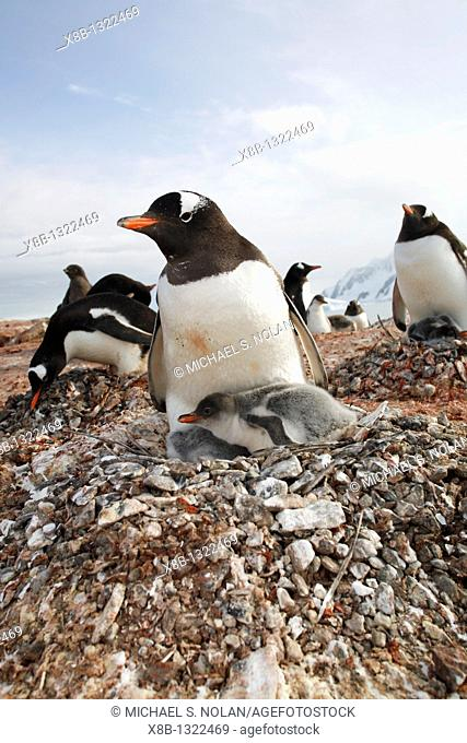 Gentoo penguin Pygoscelis papua parent with chick on nest on Petermann Island near the Antarctic Peninsula