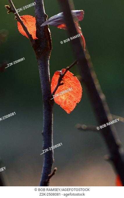 Natural autumn leaf in a park in Serbia