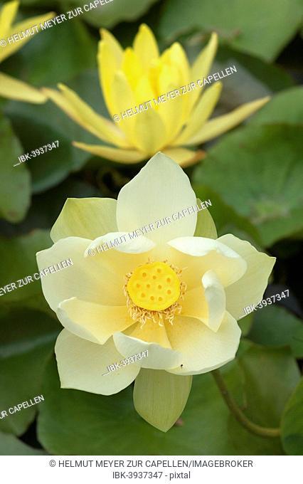 Lotus flower (Nelumbo nucifera), Bavaria, Germany