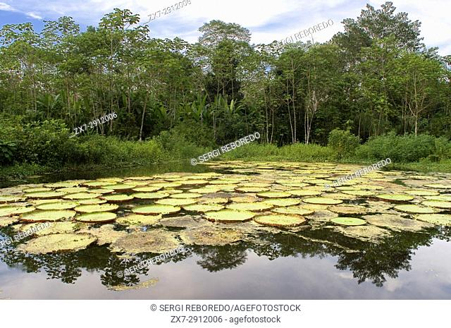 Flower of the Victoria Amazonica, or Victoria Regia, the largest aquatic plant in the world at Amazon River near Iquitos, Loreto, Peru