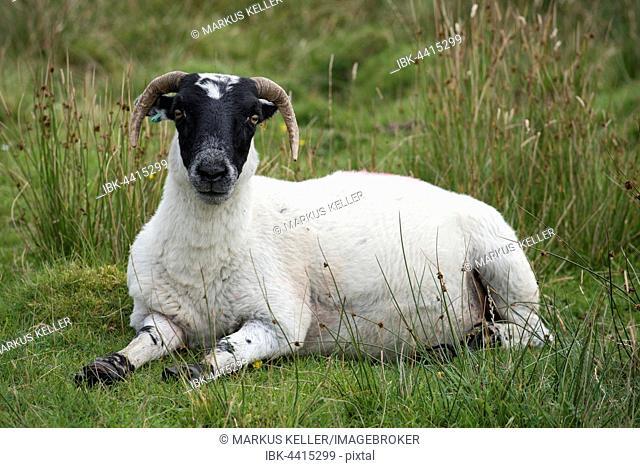 Scottish Sheep, Scottish Blackface sheep (Ovis aries gmelini) lying in meadow, Isle of Islay, Inner Hebrides, Scotland, United Kingdom