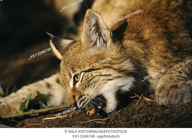 Portrait of an Eurasian Lynx / Eurasischer Luchs ( Lynx lynx ) nibbling on a piece of wood, golden light