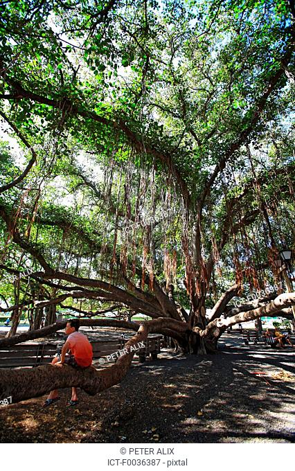 United States, Hawaii, island of Maui, Lahaina, banyan tree