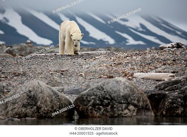 Spitsbergen, Svalbard, polar bear