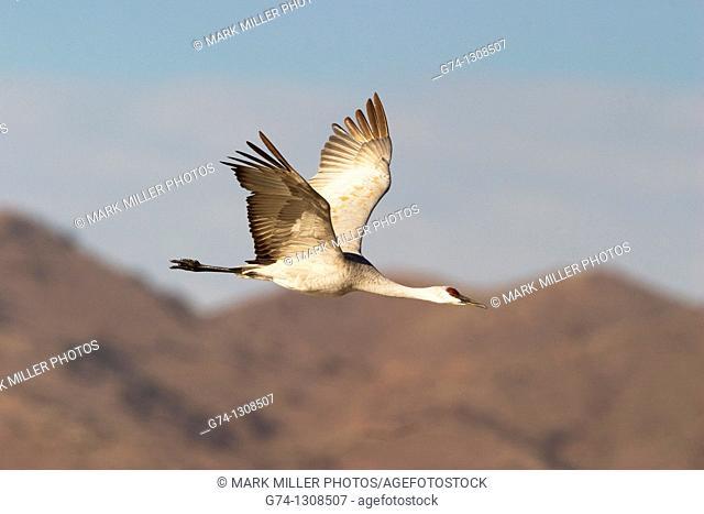 Sandhill Crane in Flight Rocky Mountains USA