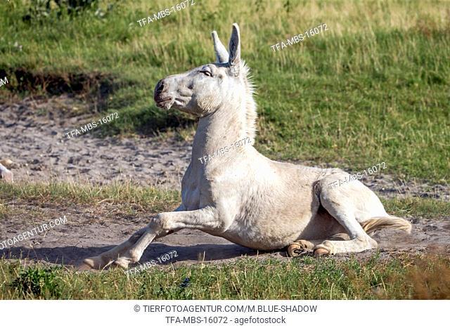 Austria-Hungarian white donkey