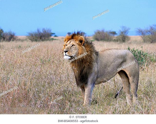 lion (Panthera leo), male lion in savannah, Kenya, Masai Mara National Park