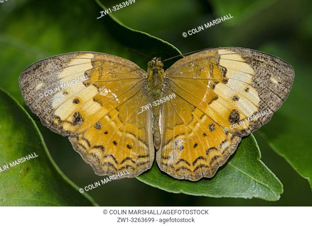 Rustic Butterfly (Cupha erymanthis, Nymphalidae Family) on leaf, Klungkung, Bali, Indonesia