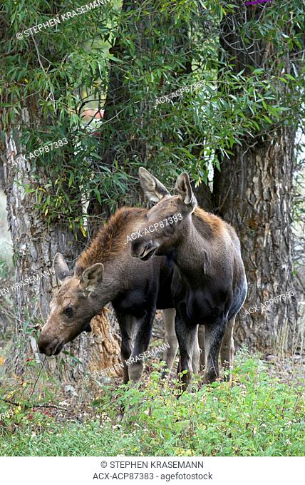 Moose yearlings, siblings near Gros Ventre River, Jackson, Wyoming, North America. (Alces alces). Shiras subspecies