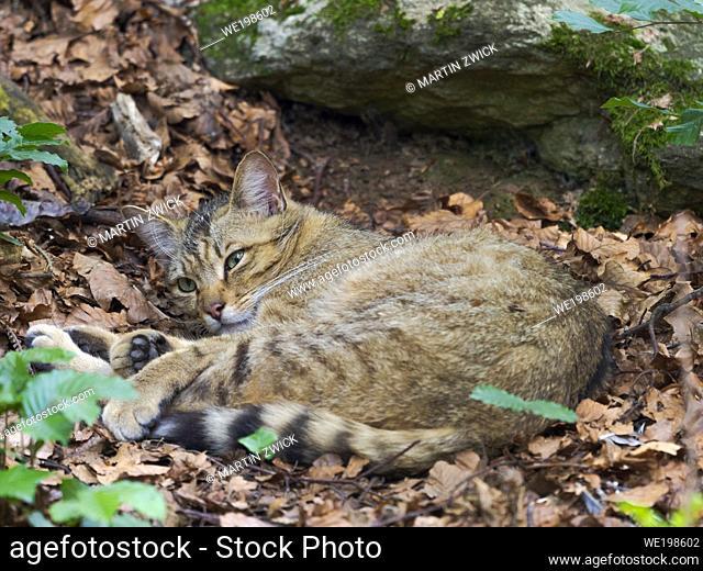 Europaeische Wildkatze (Felis silvestris silvestris) im Fruejahr im Nationalpark Bayerischen Wald (Gehegezone). Europa, Deutschland, Bayern