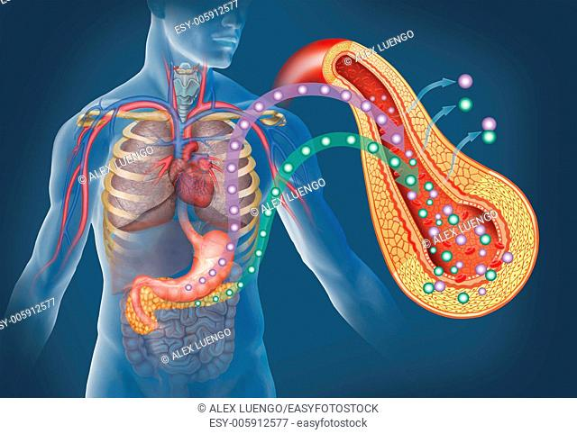 Illustration on the function of isulin and glucose. Insulin, the main hormone that regulates the metabolism of secreted in the pancreas
