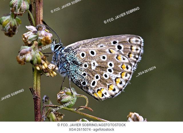 """Mariposa Celda Limpia (Polyommatus thersites) en el mes de octubre en las montañas de Penyagolosa â. """" Vistabella del Maestrazgo â. """" Alcalatén â"""