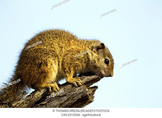 Tree Squirrel (Paraxerus cepapi) - Basking at a cool winter morning. Kruger National Park, South Africa