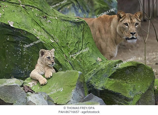 One of the two three-month-old lion cubs looks out from behind a rock at the zoo in Neuwied, Germany, 21 December 2016. In the background its mother Zari can be...