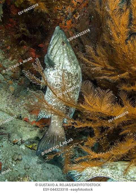 1 fish underwater -reff coral- Mycteroperca acutirostris- los roques venezuela