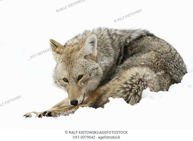 Coyote ( Canis latrans ) in winter, sitting in snow, licking its fur with its tongue, watching attentively, Yellowstone NP, Wyoming, USA