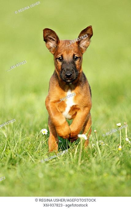 Wetfalen Terrier Puppy - running across garden