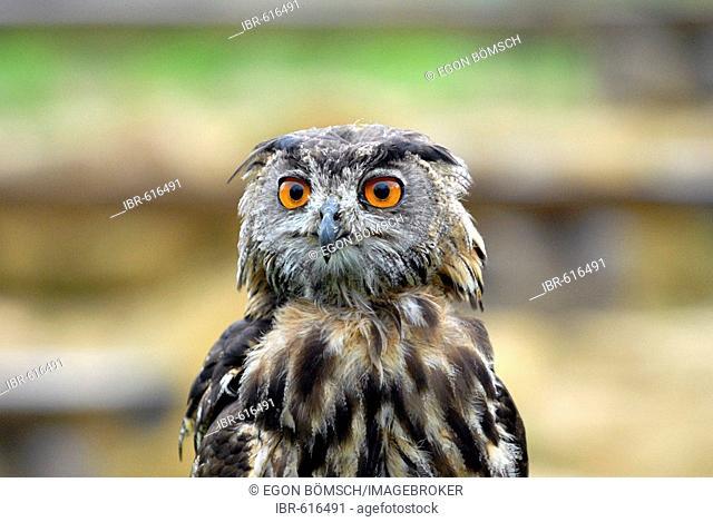 Young Eagle Owl (Bubo bubo), portrait, Neunkirchen falconry, Saarland, Germany, Europe