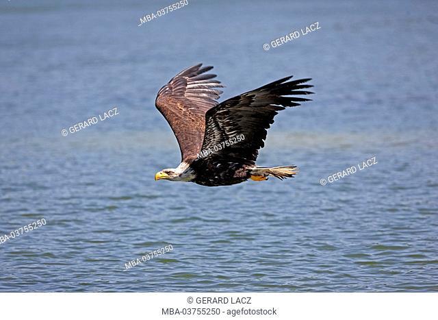 Bald Eagle, haliaeetus leucocephalus, Immature in Flight above water