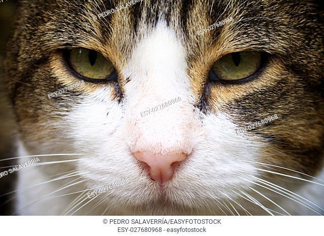 Close up portrait of a brown and white cat