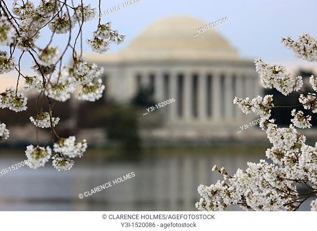 The Jefferson Memorial framed by cherry blossoms during the 2011 National Cherry Blossom Festival in Washington, DC, USA