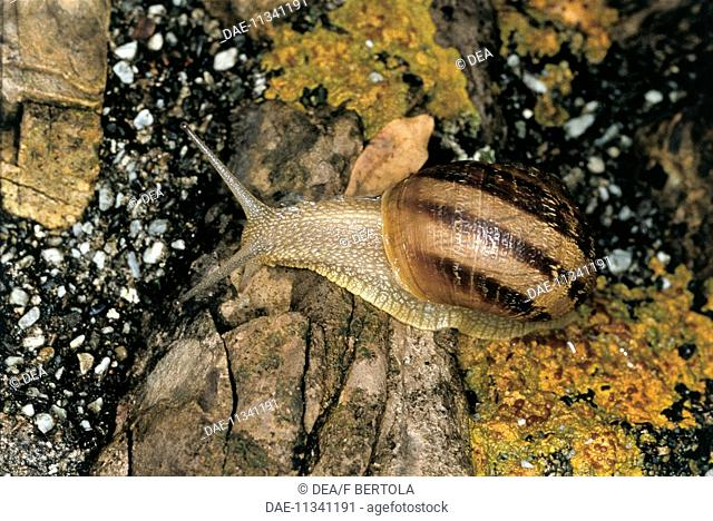 Zoology - Molluscs - Gastropods - Garden snail (Helix aspersa or Cornu aspersum) on rock