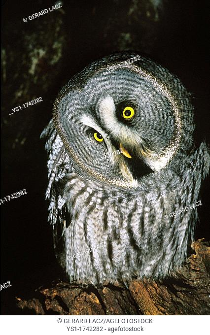 Great Grey Owl, strix nebulosa, Adult with Funny Face