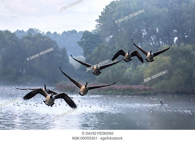 Canada Geese (Branta canadensis) flying above a lake, The Netherlands, Limburg, Anstelvallei