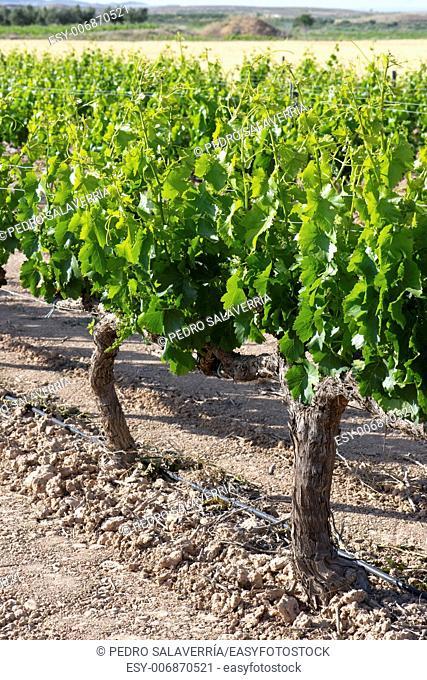 Vineyard in Fuendejalon, Zaragoza province, Aragon, Spain