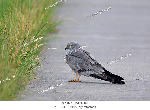 Montagu's harrier (Circus pygargus), male foraging along roadside of rural road