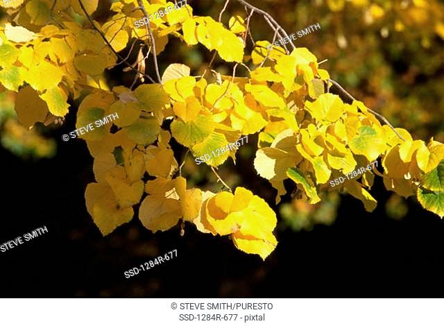 Yellow leaves on trees in autumn