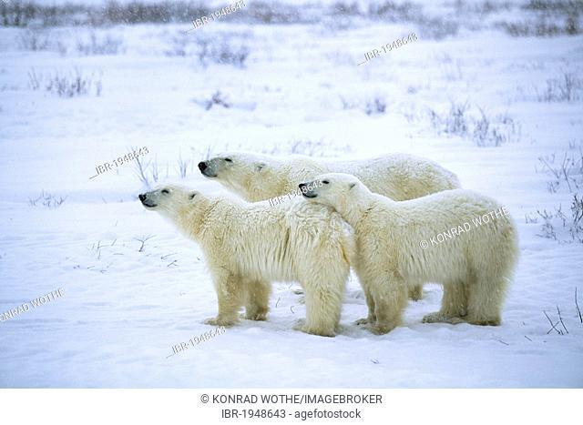Three Polar bears (Ursus maritimus) in a snow flurry, Churchill, Canada