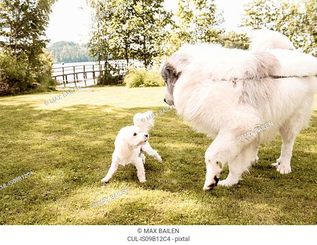 Coton de tulear dog and great pyrenees dog playing in garden, Orivesi, Finland