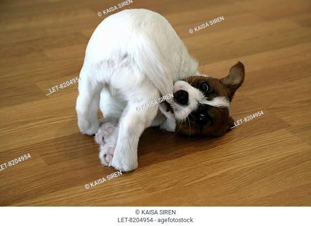 A Jack Russell terrier puppy trying to catch her tail.