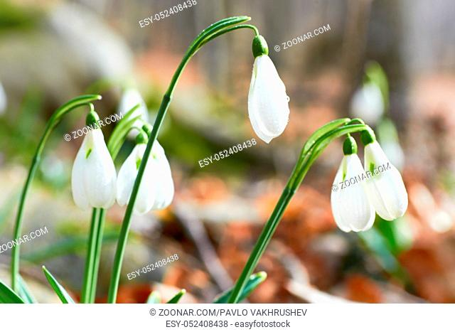 Snowdrops first spring flowers in the forest