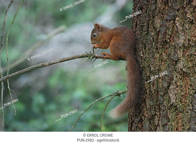 Red squirrel Sciurus Vulgaris feeding in a tree on Balmoral estate near Loch Muick
