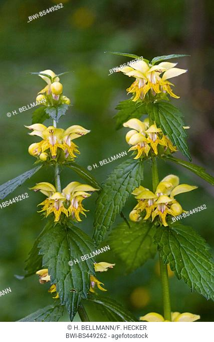 Yellow dead-nettle, Yellow Archangel, artillery plant, aluminium plant (Lamium galeobdolon, Galeobdolon luteum, Lamiastrum galeobdolon), blooming, Germany