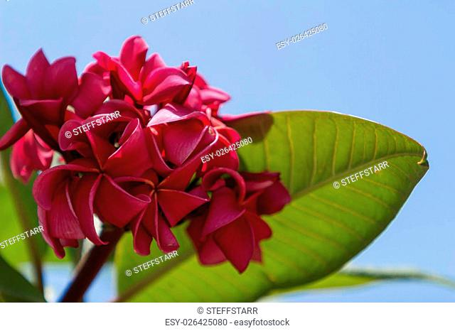Hawaiian dark red plumeria, rojo mojo hybrid, frangipani blooms in summer in Hawaii
