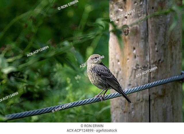 Female Brown-headed Cowbird (Molothrus ater), Cudia Park, Toronto, Ontario, Canada - female cowbirds lay their eggs in other birds' nests