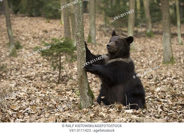 European Brown Bear / Braunbaer ( Ursus arctos ), playful adolescent, sitting on its back in dry leaves, holding a tree, looks cute and funny, Europe