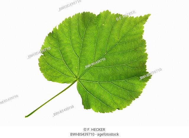 small-leaved lime, littleleaf linden, little-leaf linden (Tilia cordata), single leaf, upper side, cutout