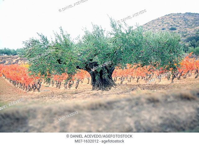 Olive grove, Rioja region, Spain