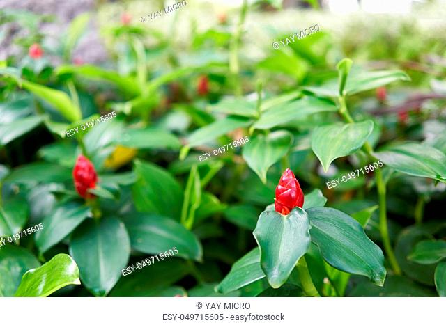 Close up Zingiber zerumbet Smith red flower as cone and green leaves on outdoor garden