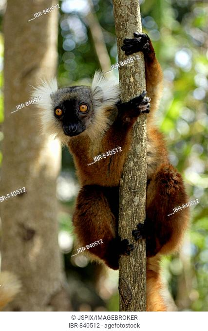 Black Lemur (Eulemur macaco), adult female in a tree, Nosy Komba, Madagascar, Africa