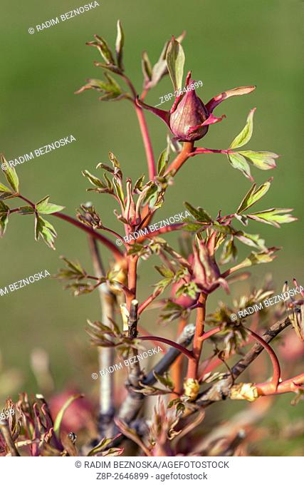Bright red shoots of tree peonies Paeonia suffruticosa, newly foliage budding in early spring