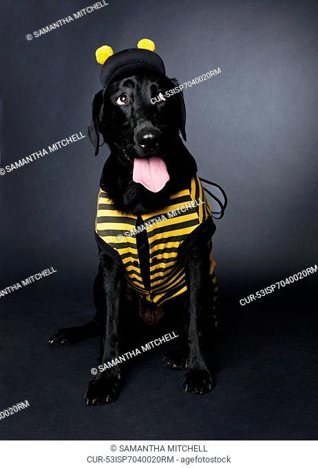 Dog wearing bumblebee costume