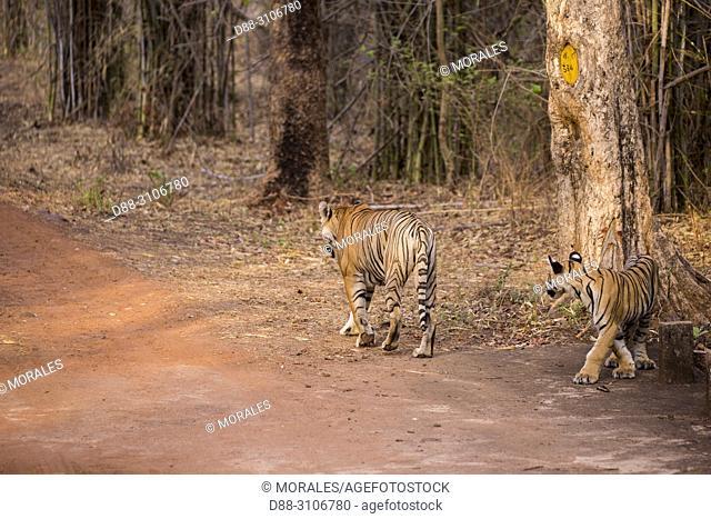 Asia, India, Maharashtra, Tadoba Andhari Tiger Reserve, Tadoba national park, aadult female and young