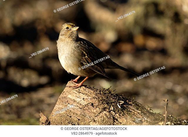 Sparrow, William Finley National Wildlife Refuge, Oregon